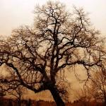 640px-Bare_Oak_Tree