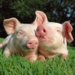 varkens-achtergronden-dieren-varken-wallpapers-foto-1